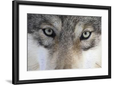 Eastern Timber Wolf, Canis Lupus Lycaon, Close-Up-Ronald Wittek-Framed Photographic Print