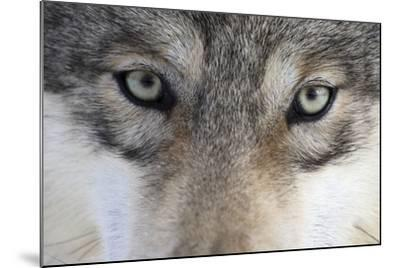 Eastern Timber Wolf, Canis Lupus Lycaon, Close-Up-Ronald Wittek-Mounted Photographic Print