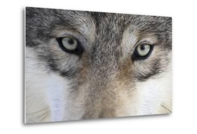 Eastern Timber Wolf, Canis Lupus Lycaon, Close-Up-Ronald Wittek-Metal Print