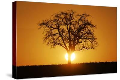 Meadow, Tree, Bald, Silhouette, Sunset Landscape-Ronald Wittek-Stretched Canvas Print