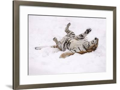 Siberian Tiger, Panthera Tigris Altaica, Female Rolls in the Snow-Andreas Keil-Framed Photographic Print