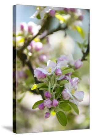 Apple Blossoms-C. Nidhoff-Lang-Stretched Canvas Print