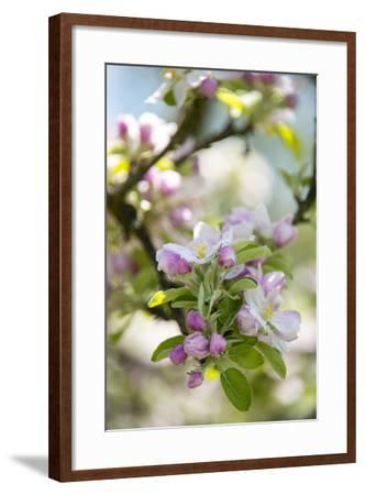 Apple Blossoms-C. Nidhoff-Lang-Framed Photographic Print