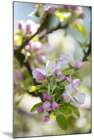 Apple Blossoms-C. Nidhoff-Lang-Mounted Photographic Print