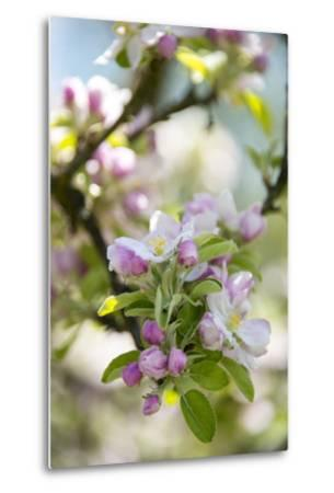 Apple Blossoms-C. Nidhoff-Lang-Metal Print