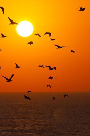 Portugal, Algarve, Lagos, Sunrise, Flock of Gulls-Chris Seba-Framed Photographic Print