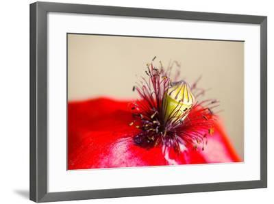 Corn Poppy, Papaver Rhoeas, Blossom, Detail-Alfons Rumberger-Framed Photographic Print
