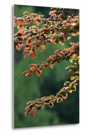 Copper Beech, Branches, Leaves, Back Light-Rainer Mirau-Metal Print