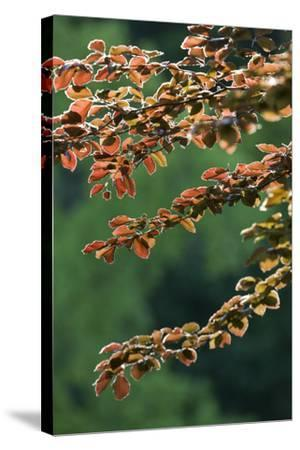 Copper Beech, Branches, Leaves, Back Light-Rainer Mirau-Stretched Canvas Print
