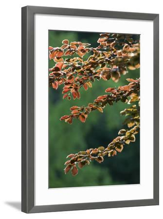 Copper Beech, Branches, Leaves, Back Light-Rainer Mirau-Framed Photographic Print