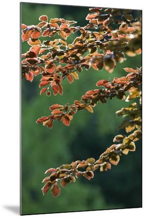 Copper Beech, Branches, Leaves, Back Light-Rainer Mirau-Mounted Photographic Print