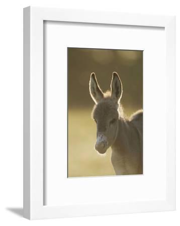 Donkey, Equus Asinus Asinus, Foal, Portrait, Meadow, Is Lying Laterally-David & Micha Sheldon-Framed Photographic Print