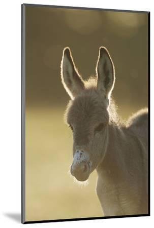 Donkey, Equus Asinus Asinus, Foal, Portrait, Meadow, Is Lying Laterally-David & Micha Sheldon-Mounted Photographic Print