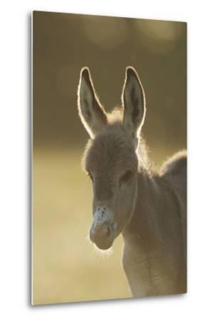 Donkey, Equus Asinus Asinus, Foal, Portrait, Meadow, Is Lying Laterally-David & Micha Sheldon-Metal Print