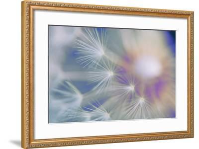 Dandelion, Taraxacum, Blowball, Close-Up-Alfons Rumberger-Framed Photographic Print