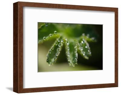 Lady's Mantle, Alchemilla, Dewdrops, Close-Up-Alfons Rumberger-Framed Photographic Print