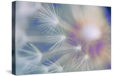 Dandelion, Taraxacum, Blowball, Close-Up-Alfons Rumberger-Stretched Canvas Print