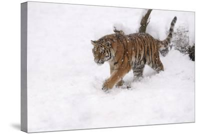 Siberian Tiger, Panthera Tigris Altaica, Subadult in Winter-Andreas Keil-Stretched Canvas Print