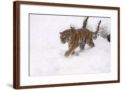 Siberian Tiger, Panthera Tigris Altaica, Subadult in Winter-Andreas Keil-Framed Photographic Print