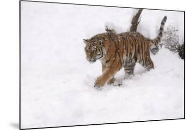 Siberian Tiger, Panthera Tigris Altaica, Subadult in Winter-Andreas Keil-Mounted Photographic Print