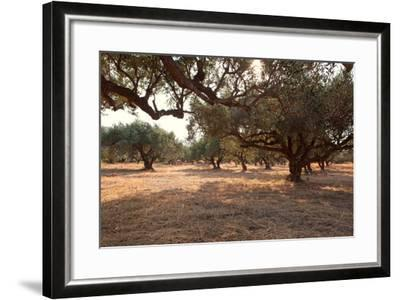 Greece, Crete, Olive Grove-Catharina Lux-Framed Photographic Print