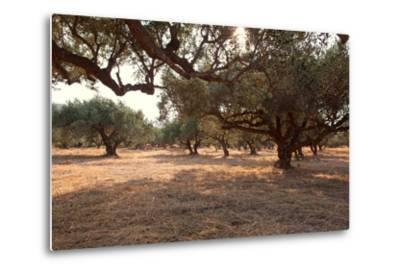 Greece, Crete, Olive Grove-Catharina Lux-Metal Print