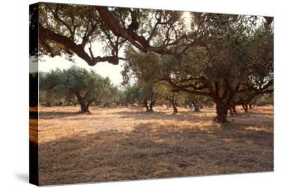 Greece, Crete, Olive Grove-Catharina Lux-Stretched Canvas Print