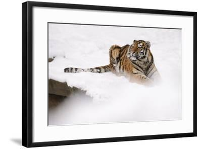 Siberian Tiger, Panthera Tigris Altaica, Subadult Lies in the Snow-Andreas Keil-Framed Photographic Print