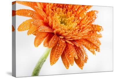 Gerbera in Orange-Uwe Merkel-Stretched Canvas Print