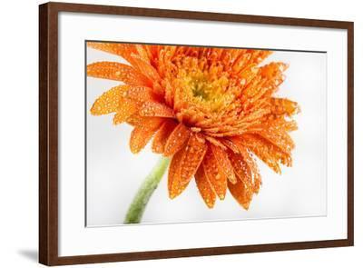 Gerbera in Orange-Uwe Merkel-Framed Photographic Print