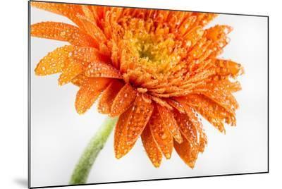 Gerbera in Orange-Uwe Merkel-Mounted Photographic Print
