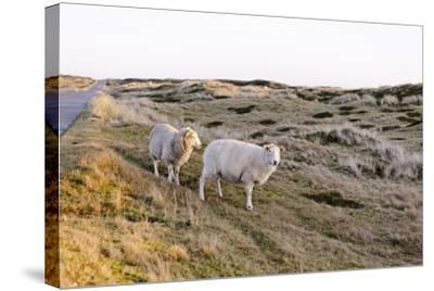 Sheep in the Wayside, List, Island Sylt, Schleswig-Holstein, Germany-Axel Schmies-Stretched Canvas Print