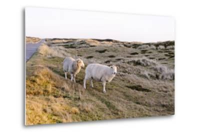 Sheep in the Wayside, List, Island Sylt, Schleswig-Holstein, Germany-Axel Schmies-Metal Print
