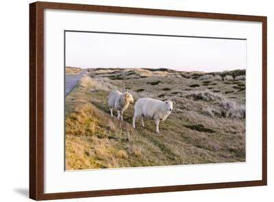 Sheep in the Wayside, List, Island Sylt, Schleswig-Holstein, Germany-Axel Schmies-Framed Photographic Print