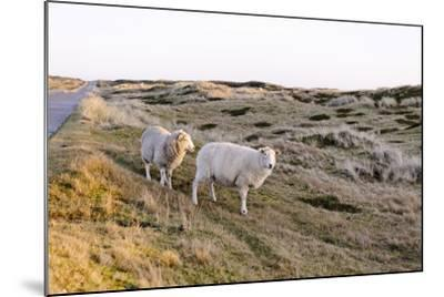 Sheep in the Wayside, List, Island Sylt, Schleswig-Holstein, Germany-Axel Schmies-Mounted Photographic Print