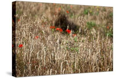 The Baltic Sea, Dar?, Wheat Ears-Catharina Lux-Stretched Canvas Print