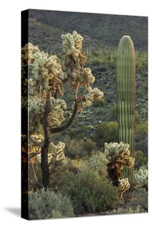 Carnegiea Gigantea, Saguaro Cacti, Hieroglyphic Trail, Lost Dutchman State Park, Arizona, Usa-Rainer Mirau-Stretched Canvas Print