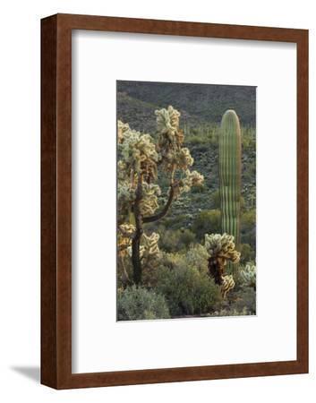 Carnegiea Gigantea, Saguaro Cacti, Hieroglyphic Trail, Lost Dutchman State Park, Arizona, Usa-Rainer Mirau-Framed Photographic Print