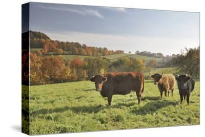 Cows, Autumn, Lindenfels (Town), Odenwald (Low Mountain Range), Hesse, Germany-Raimund Linke-Stretched Canvas Print
