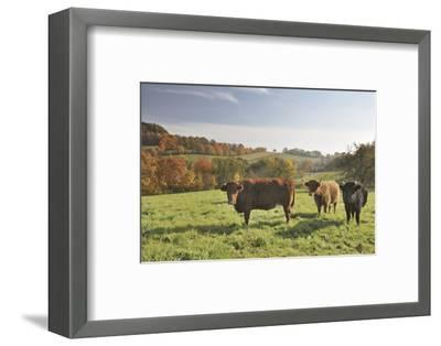 Cows, Autumn, Lindenfels (Town), Odenwald (Low Mountain Range), Hesse, Germany-Raimund Linke-Framed Photographic Print