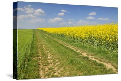 Rape Field, Way, Spring, Wenigumstadt (District), Bavaria, Germany-Raimund Linke-Stretched Canvas Print