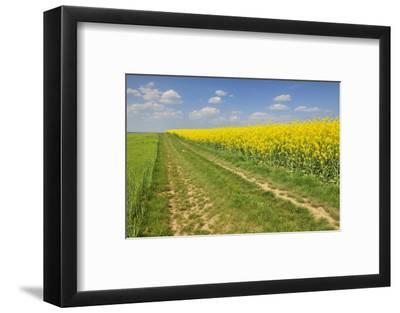 Rape Field, Way, Spring, Wenigumstadt (District), Bavaria, Germany-Raimund Linke-Framed Photographic Print