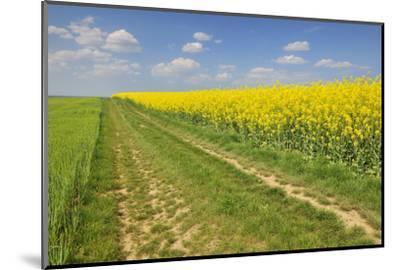 Rape Field, Way, Spring, Wenigumstadt (District), Bavaria, Germany-Raimund Linke-Mounted Photographic Print