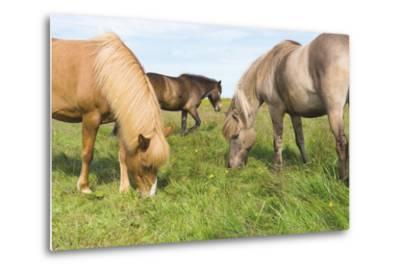 Iceland Horses-Catharina Lux-Metal Print