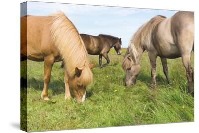 Iceland Horses-Catharina Lux-Stretched Canvas Print