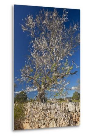 Europe, Spain, Majorca, Almonds, Meadow, Stone Wall-Chris Seba-Metal Print