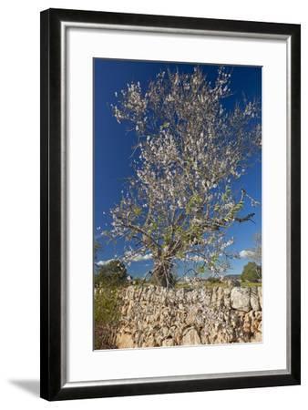 Europe, Spain, Majorca, Almonds, Meadow, Stone Wall-Chris Seba-Framed Photographic Print