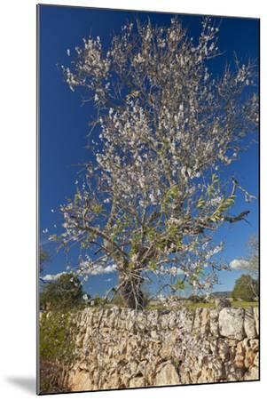 Europe, Spain, Majorca, Almonds, Meadow, Stone Wall-Chris Seba-Mounted Photographic Print