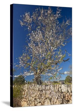 Europe, Spain, Majorca, Almonds, Meadow, Stone Wall-Chris Seba-Stretched Canvas Print