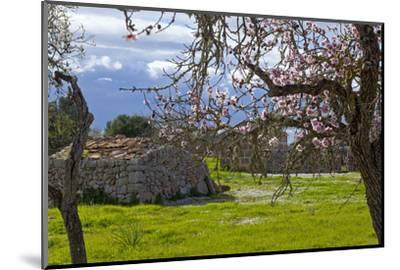 Europe, Spain, Majorca, Pink Almond Blossoms, Bitter Almond Blossom-Chris Seba-Mounted Photographic Print